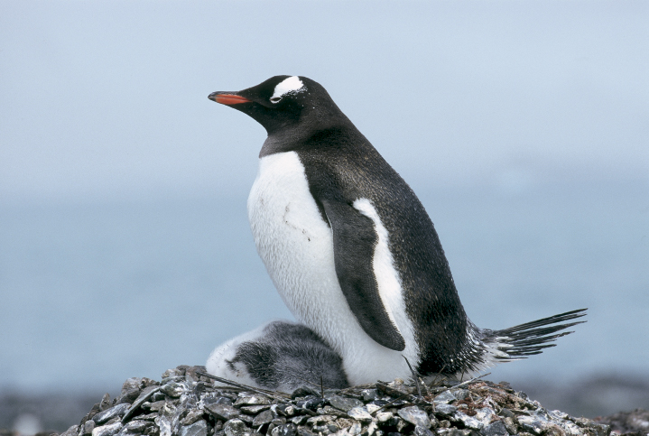 Eselspinguin am Nest
