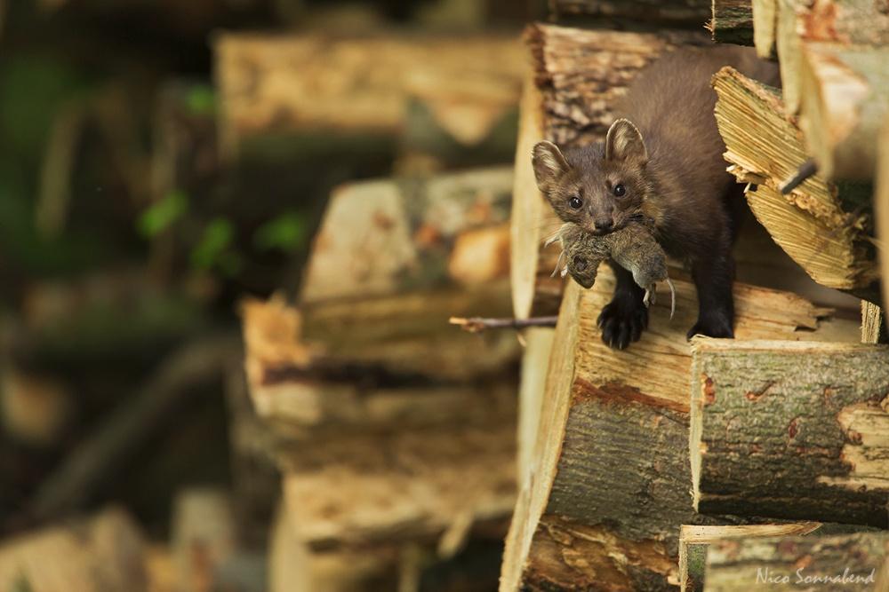Baummarder Forum für Naturfotografen