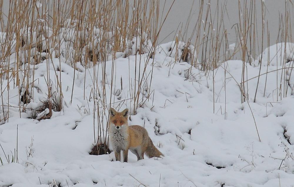 Fuchs Im Winter Forum Fur Naturfotografen