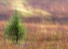 Highlandheidebäumchen