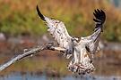 Der Adler landet