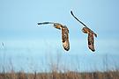 Jagd der Sumpfohreulen