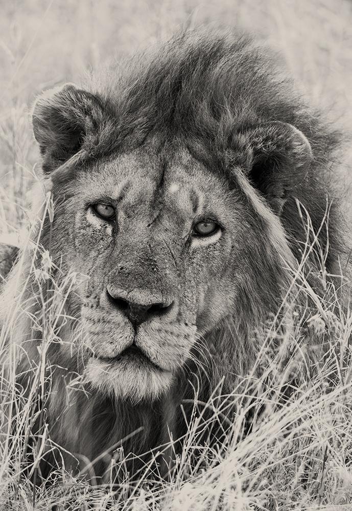 Löwe Schwarz