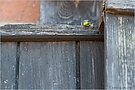 Tür-Eidechse