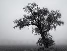 Robinie im Nebel