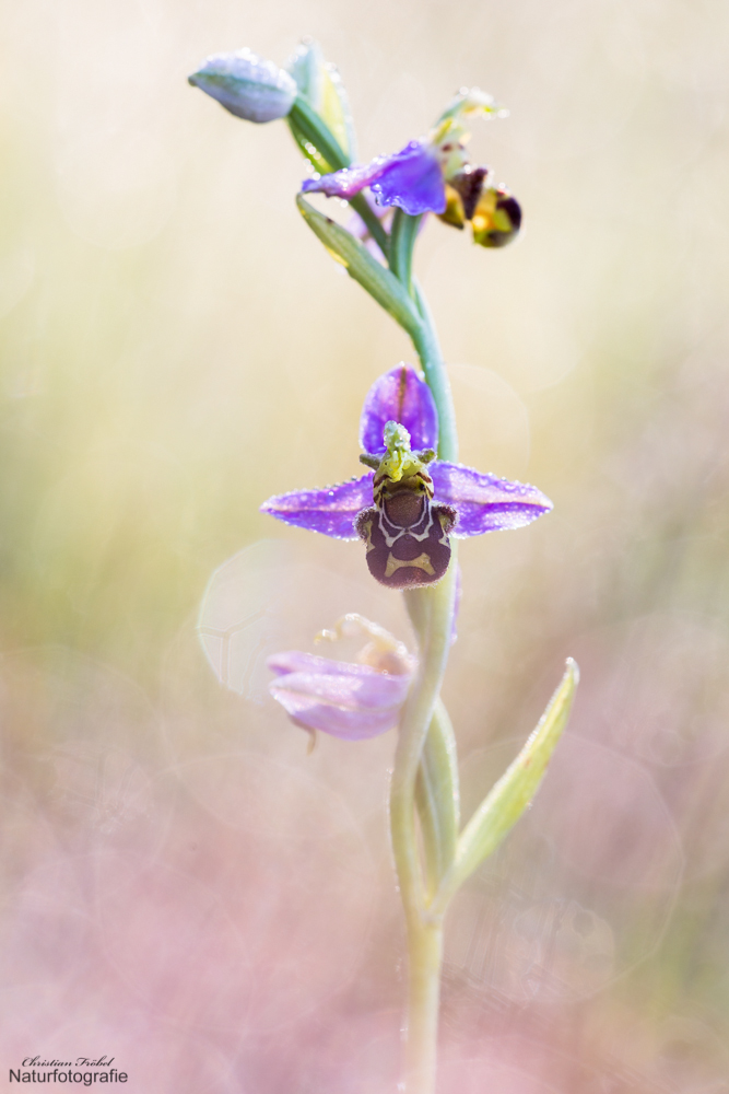- Ophrys -