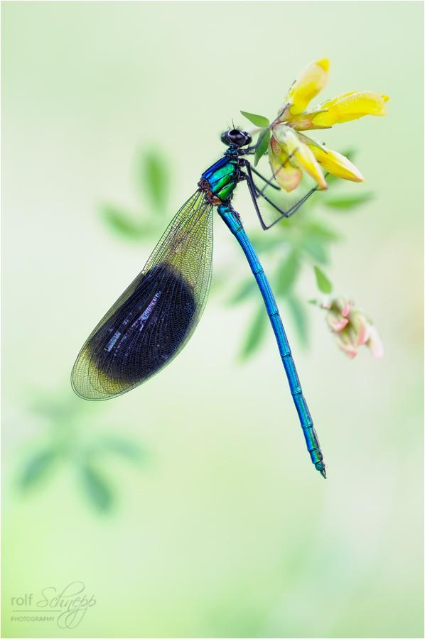 dragonfly ~ (Forum für Naturfotografen)