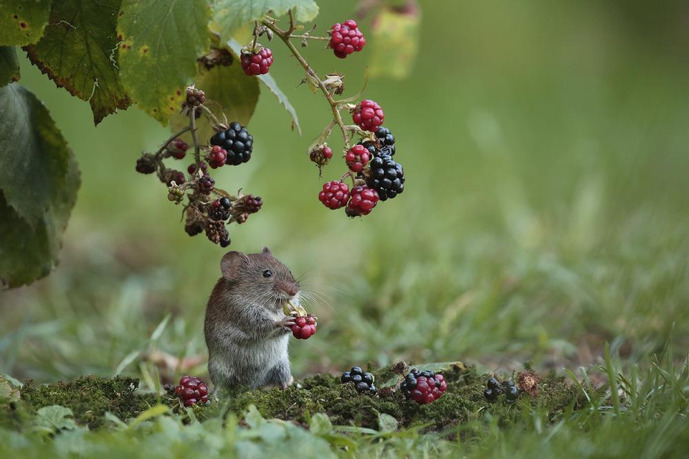 Meine kleine Gartenmaus (Forum für Naturfotografen)