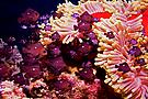 Dreifleckpreußenfische mit ihrer Prachtanemone