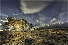 Rondane Tree