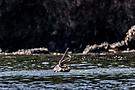 Pelikan mit Fisch