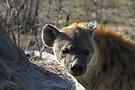 Gefleckte Hyäne (Crocuta crocuta)am Bau