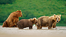 Junge Kamtschatka-Braunbären