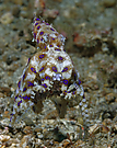 Blauring-Oktopus mit Eiern, in denen die jungen zu sehen sind