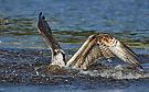 Fischadler nach dem Einschlag