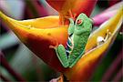 Frosch auf Helikonia