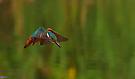 Eisvogel im Rüttelflug