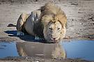 Löwe des Marsh-Rudels