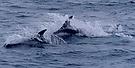 Delphine in der Barentsee