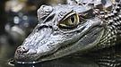 Krokodil aus dem Berliner Zoo Terrarium