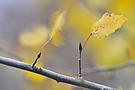 Zitterpappel (Populus tremula)