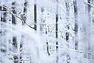 Habichtskauz im Schnee