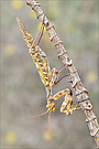 Kleine Teufelsblume (Blepharopsis mendica)
