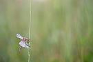 Frühen Heidelibelle