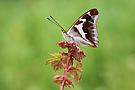 Grosser Schillerfalter, Apatura iris