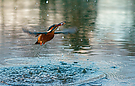 Eisvogel mit Beifang