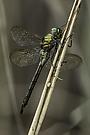 weibliche Smaragdlibelle