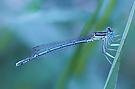 Blaue Libelle zur Blauen Stunde