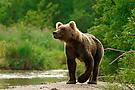 Kamtschakta-Braunbär