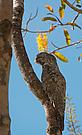 Riesentagschläfer (Nyctibius grandis)