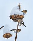 Drei Bergfinken