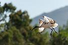 Heiliger Ibis (Threskiornis aethiopicus)