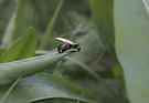 Ameisenhochzeit