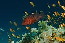 Riffleben im Roten Meer