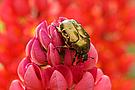 Goldglänzende Rosenkäfer (Cetonia aurata