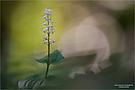 Zweiblättrige Schattenblume (Maianthemum bifolium)