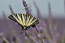Segelfalter auf Lavendel