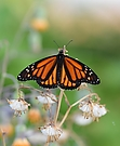 Monarchfalter - pausierend