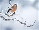 Gimpel-Dame im Schnee