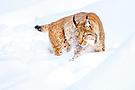 Junger Luchs beim Spielen im Schnee