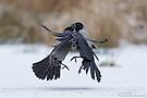 Eine Krähe hackt der anderen kein Auge aus