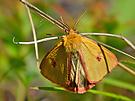 Rotrandbär - das Männchen  Doku