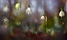 Im Märzenbecherwald ...,