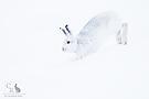 Schneehüpfer