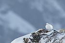 Alpenschneehuhn (Lagopus muta helvetica)