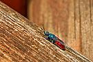 Goldwespe (Chrysididae refulgens)